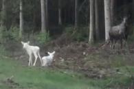 온몸이 하얀색… '쌍둥이 아기 사슴' 노르웨이서 발견