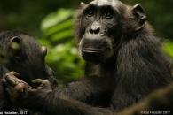 인간의 연구관찰 신경쓰다 생태 습성 바꾼 야생 침팬지