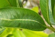 나뭇잎 위에 뭔가가? 위장술의 대가 '남작 애벌레'