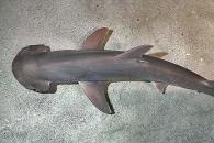 '바다의 포식자' 상어가 채식을 한다고? (연구)