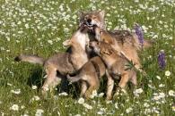 가축화한 개, 4만 년 전 늑대 무리에서 분기(연구)