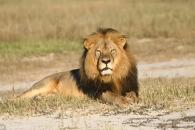 짐바브웨 '국민사자' 세실의 아들, 아비처럼 사냥 당해