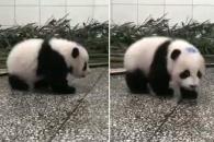 처음 경험한 딸꾹질에 당황한 아기 판다 (영상)