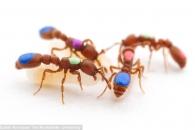 유전자 편집 기술 이용한 '유전자 변형 개미' 탄생