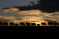 낮에 숨고, 밤에 이동…밀렵 탓에 뒤바뀐 코끼리 생태(연구)