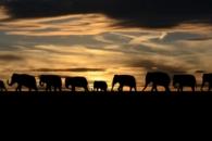 낮에 숨고, 밤에 이동…밀렵 탓에 뒤바뀐 코끼리 생태 (연구)