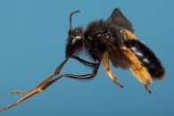 [와우! 과학] 몸통보다 다리가 긴 벌…그 이유는?