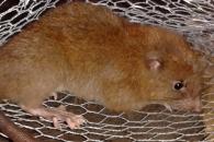 남태평양 섬에서 코코넛 깨먹는 신종 거대 쥐 발견