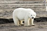 홀로 725km 이동한 아기 북극곰…기적같은 생존