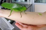 [와우! 과학] 베짱이를 위한 변명…게으른 곤충 아니다