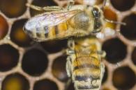 꿀벌의 완벽한 비행…'벌 뇌의 비밀' 밝히다 (연구)