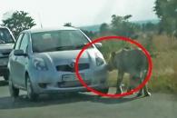타이어 먹은 사자…고립된 사파리 관광객의 선택은?(영상)