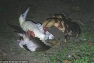 잠자는 바닷새 사냥하는 코코넛크랩…진짜 '정글의 법칙'