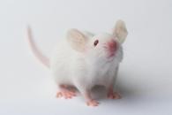 하반신 마비 쥐, 줄기세포 주입하자 다시 걸어(연구)
