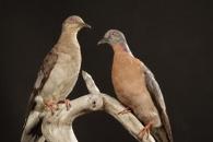 50억 마리 '북미산 비둘기', 갑작스레 멸종된 이유 (연구)