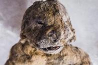[와우! 과학] 5만년 전 잠든 새끼 '동굴사자'…출생 직후 버림받아