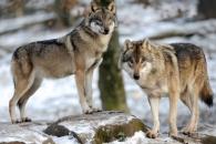 프랑스 '늑대와 전쟁' 논란…생태계 부활 vs 양떼 초토화
