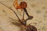 [와우! 과학] 거미 잡아먹는 거미…펠리컨 거미 이야기