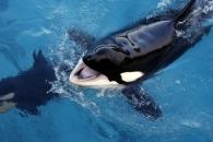 """""""헬로~""""…인간 말 따라하는 세계 첫번째 범고래 등장"""