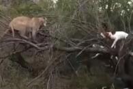 사냥개들에 쫓겨 피신한 퓨마…밀렵 영상 논란