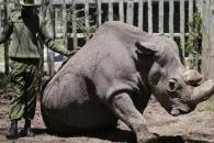 [와우! 과학] 최후의 한마리…멸종 앞둔 수컷 북부흰코뿔소