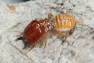 [와우! 과학] 흰개미 노병은 사라지지 않는다. 단지 앞장설 뿐…