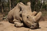 [와우! 과학] 최후의 수컷 북부 흰코뿔소 안락사…사실상 멸종되다