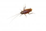 [와우! 과학] 바퀴벌레의 극강 생존력 비밀…DNA에서 찾았다