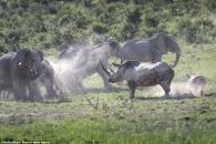 """""""내 아이한테 다가오지 마!"""" 코끼리떼 쫓아낸 엄마 코뿔소"""