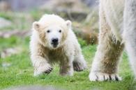 """[애니멀 픽!] """"엄마 같이 가요"""" 아기 북극곰의 '첫 외출'"""