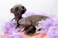 세계에서 가장 못생긴 개, '프로 모델'로 '견생역전'