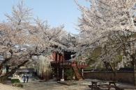 [윤기자의 콕 찍어주는 그곳] 그래도, 벚꽃은 피어야 되구요…영천 은해사(銀海寺)