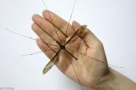 일반 모기 10배 크기… '세계 최대 모기' 中서 발견