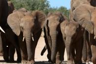 [여기는 중국] 상아 이어 '코끼리 가죽'도 먹는 중국…개체수 위협
