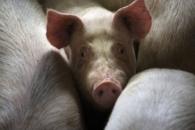 [와우! 과학] 돼지 뇌만 36시간 따로 보관 가능…불멸의 길 올까?