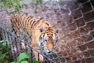 中 동물원 사육사, 청소 중 호랑이에 물려 사망