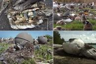 인류가 버린 '플라스틱 쓰레기'로 죽어가는 알바트로스