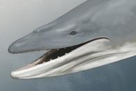 [와우! 과학] '이빨'을 지닌 수염고래의 조상 발견