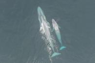 몸길이 22m '신종 대왕고래' 개체군 발견 (연구)