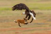 뛰는 여우 위에 나는 독수리의 먹이 쟁탈전, 승자는?