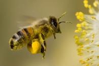 '꿀벌 실종 사건' 예방에 프로바이오틱스 도움(연구)