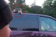 달리는 차 지붕 위에 앉아 스릴 즐기는 고양이 (영상)