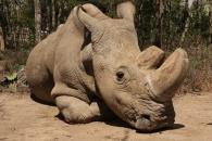 2마리 남은 북부흰코뿔소, 사촌인 남부흰코뿔소로 복원 시도