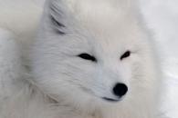 [와우! 과학] 북극여우 등 흰색 털 동물, 기후변화에 더 취약한 이유