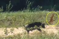 박치기 한 방에…버팔로, 사자에게 먹힐뻔한 왕도마뱀 구출 (영상)