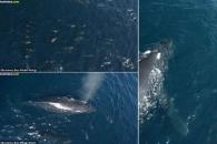 """""""같이 놀자"""" 아기 혹등고래 둘러싼 돌고래떼 포착 (영상)"""