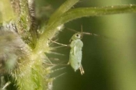 [와우! 과학] 식물 수액만 먹고사는 진딧물의 생존 비결은?