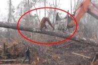 내 집 지키기 위해 굴착기와 싸운 오랑우탄의 사연 (영상)