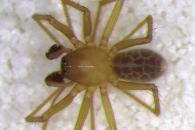 [와우! 과학] '2㎜' 초소형 신종 거미 발견…동굴에서만 서식