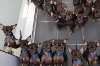 세계에서 가장 작은 개, 49번 복제…기네스북 올라